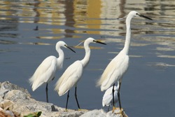 3 beautiful egrets one shorter than other lined up and observing what interests them and in the seek of food.