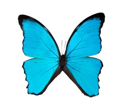 Beautiful exotic blue butterfly isolated on a white background. 2020 trend color.Exotic insects (butterflies, beetles, spiders, scorpions)  name Didius blue morpho or Morpho didius.