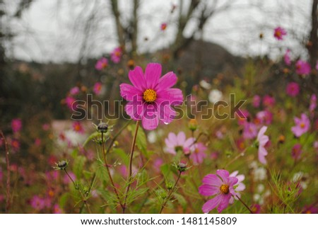 Beautiful flower in reddish, and pink tones. In a natural context, perfect balance between its bright green leaves and its buds about to open. Image in the foreground, with diffuse background accompa