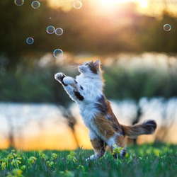 beautiful fluffy cat jumps and catches soap bubbles with its paws on a summer blooming meadow in the light of a warm sunset