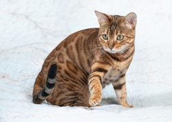 А beautiful golden-colored bengal cat on a white background