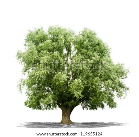 Beautiful green tree isolated on a white background in high resolution