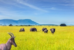 Beautiful herbivore - Antelope Roan and herd of elephants in the grassy savannah. The famous Masai Mara Reserve in Kenya. Africa. The concept of ecological, exotic and photo tourism