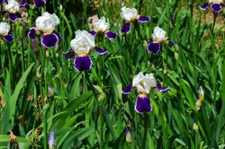 Beautiful irises in the meadow. Violet-white irises.