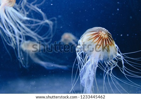 Beautiful jellyfish, jellyfish in dark light with fish. Underwater life in ocean jellyfish #1233445462