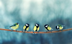 -beautiful little tit birds sit on a branch in a winter blue fairy Park