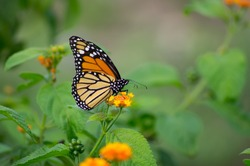 beautiful monarch butterfly perched on a flower