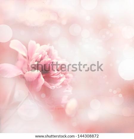 beautiful peony flowers in sun ...