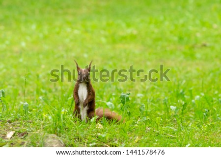 Beautiful photo of a red squirrel (Sciurus vulgaris) standing in the green grass. Photo with small depth of field. Beautiful background photo.