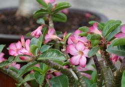 Beautiful Pink adenium flower ( Desert Rose flower) on tree in garden