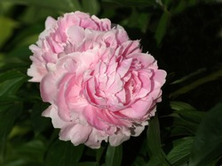 Beautiful pink peony blooms in the garden.  Paeonia  lactiflora Sarah Bernhardt.  Double pink peony flower.
