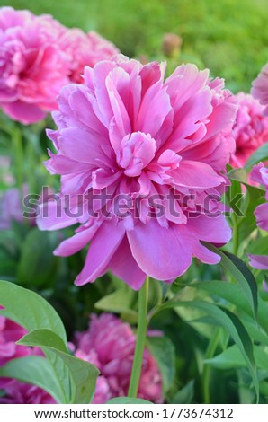 Beautiful pink peony close up. Blooming pink peony flower. Pink flowers peonies flowering. Peonies summer blossom.