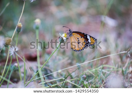 Beautiful Portrait of The Plain Tiger Butterfly on the Flower Plants during Spring Season