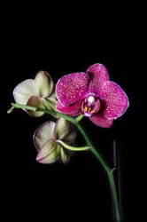 Beautiful purple orchids flower with water drops isolated on black background