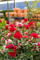Beautiful red and pink roses blooming in the garden center during spring with clay pots in the background