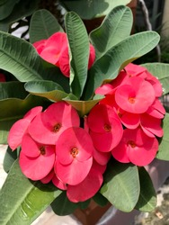 Beautiful red Description Euphorbia milii (Crown of thorns, Christ plant or Christ thorn) are blooming in the garden