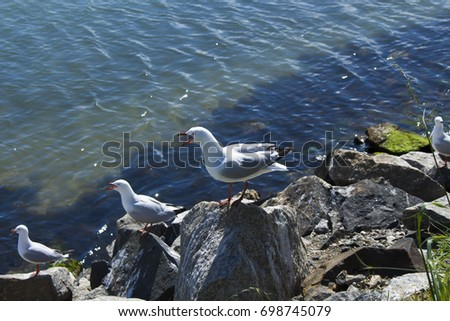 Beautiful seagulls seabirds of family Laridae in sub-order Lari  protecting their nests between  granite rocks at Bunbury old harbour Western Australia hatching out speckled brown chicks .