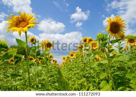 Beautiful sunflowers on a background blue sky