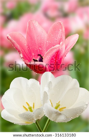 Stock Photo  beautiful white and pink flowers in the garden