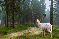 Beautiful white deer (albino) stands in a fairytale coniferous forest