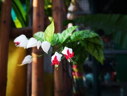 beautiful White flower, bagflower, bleeding-heart vine