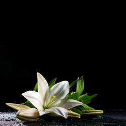 beautiful white freshness lily with buds lying  on reflection table with bright water drop on black background