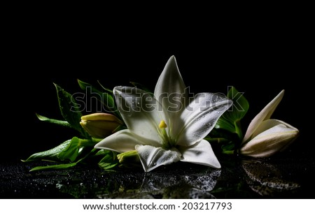 beautiful white freshness lily with buds lying  on reflection table with bright water drop on dark background