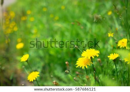 beautiful yellow dandelions flowers close up