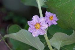 beautifulflowering eggplant flower in the garden