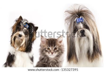 beaver yorkshire terrier, dog of breed shih-tzu and  kitten
