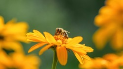 .Bee and flower. Close up of a large striped bee collecting pollen on a yellow flower on a Sunny bright day, macro