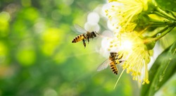ฺBee collecting pollen at yellow flower. Bee flying over the yellow flower in blur background