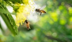 ฺBee collecting pollen at yellow flower, Bee flying over the yellow flower in blur background.