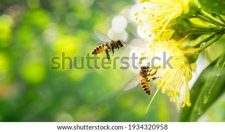 ฺBee collecting pollen at yellow flower. Bee flying over the yellow flower in blur background