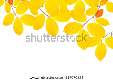 beech branch isolated on white