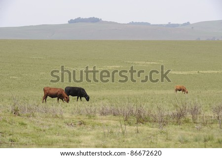 beef cattle graze on spring pasture on a dry land ranch, underberg,kwazulu natal,south africa
