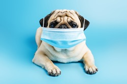 beige pug dog in a surgical medical mask lies on a blue background. wearing a mask during a pandemic and quarantine. concept of protection against coronovirus, disease. Veterinary clinic concept.