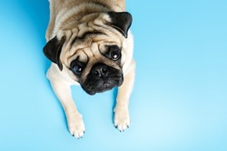 beige pug dog lies on a blue background and looks sadly at the camera. top view, copy space.