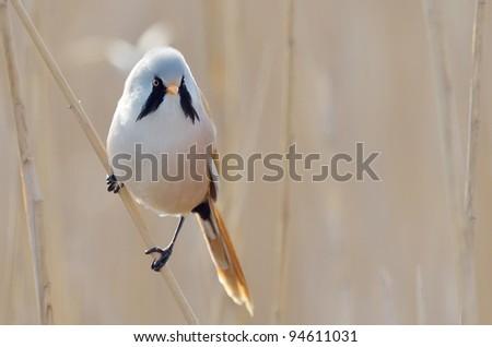 beraded tit, male - reedling (panurus biarmicus)