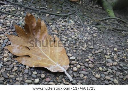 ิbig leaf lying on gravel #1174681723