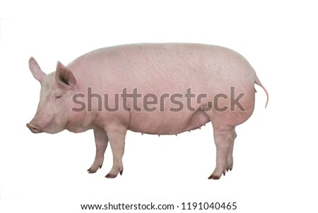 big pig isolated on white background