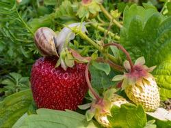 Big snail on strawberries. Summer bush strawberry pest invasion.