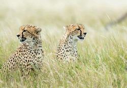 2 bigcats / cheetahs  look around  their prey.