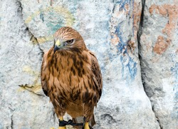 bird of prey on  background of  rock sits with its paws tied. . Eagle, Peregrine Falcon.