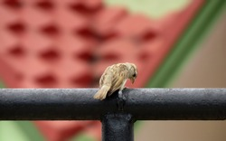 Bird on a fence,Beautiful Sparrow on the balcony fence.Bird Searching for food.