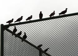 ฺBird pigeon Silhouette stand on a fence