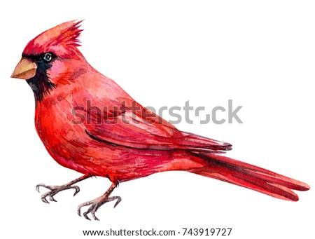 bird red Cardinal bird, watercolor