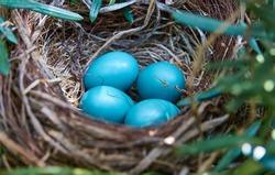 Birds baby blue nest eggs