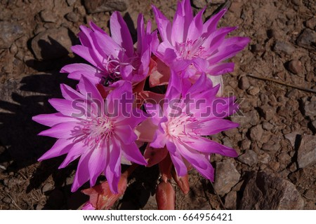 Bitterroot Flower (Lewisia), also known as the Resurrection Flower was discovered by the Lewis and Clark expedition and is Montana's state flower.