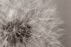 black and white photo of a dandelion. closeup of dandelion fluffs on gray background